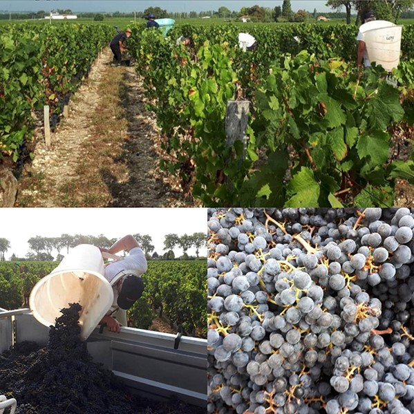Vendanges Manuelles Raisin