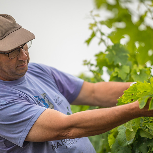 Ludovic Tintinger - Vineyard Worker. Ludovic Has Been Caring For Our Vines Since The Age Of 14.